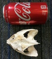 Common Snapping Turtle Skull & Jaw Taxidermy Bones Craft Hunting