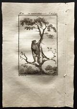 1799 - Buffon - Le galéopithèque varié ( Gravure zoologie )