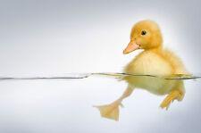 A4 Poster – Chick nadar en agua (foto impresión de arte de los animales ave Bebé pollo)