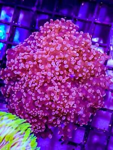 Pink Indo Frogspawn Two Heads WYSIWYG Hot Indo Lps Coral Colony Octospawn, Torch