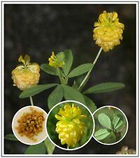 35+ Golden Hop Clover/Large Trefoil Seeds ~ Trifolium aureum *Free US Ship*
