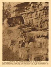 Baboons on the Monkey Hill, London Zoo, Regent's Park 1926 old vintage print