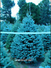 50 Pcs Seeds Home Garden Plants Sky Blue Spruce Picea Pungens Glauca Tree Bonsai