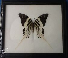 GRAPHIUM ANDROCLES FRAMED BUTTERFLY TAXIDERMY MOTH GIANT SWORDTAIL INSECT