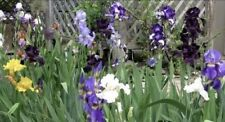 Bearded Iris mixed colors 100 Bulbs Rhizomes Sprouts