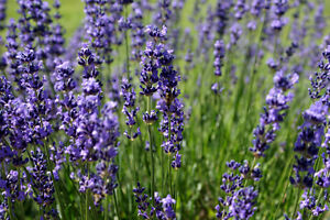 Pure Lavender Essential Oil Stress Headaches Hay Fever Burns Insect Repellent