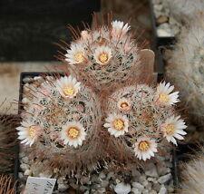 15 graines de Mammillaria perbella cactus seeds semillas
