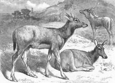 CHINA. Chinese deer, antique print, 1869