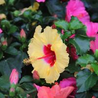 Giant Hibiscus Exotic Coral Flowers Seeds Rare Mixed Color 100 Seeds for Garden