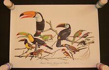 Arthur Singer TOUCANS ARACARIS JACAMARS PUFFBIRDS Print 1961 Birds of the World