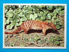 Figurina Panini-ANIMALI DI TUTTO IL MONDO 1965-n.167-MIRMECOBIO-rec