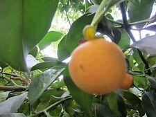 Rare Seedling LEMON DROP MANGOSTEEN Garcinia intermedia Tropical Fruit Tree