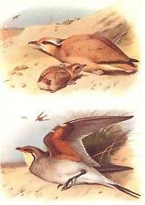 BRITISH BIRDS: Cream-coloured Courser; Collared Pratincole. THORBURN;1925