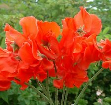 Sweet Pea - Red Ensign - 240 Seeds