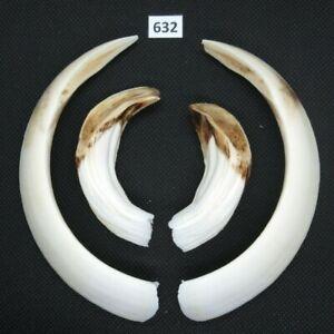 Wild boar tusks (no. 632), trophy, taxidermy, tooth, teeth