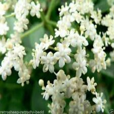 Semi-evergreen Flowering Trees
