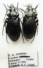 Carabus archeocarabus oblongior (pair A1) from CHINA (Carabidae)
