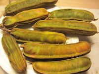 "1 plant 12"" Tall Inga Feuillei Ice Cream Bean Tropical Fruit Tree Plant Pacay"