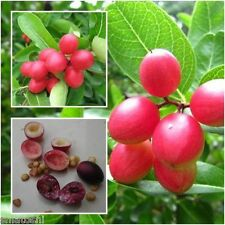 20 nos   Karonda Fruit, SFS-807, Carunda, Carissa carandas,seeds