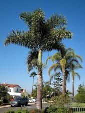 Foxtail Palm   Wodyetia bifurcata   15 Seeds   (Free Shipping)