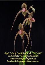 QOB Orchid Multiflorous Paphiopedilum Prince Edward of York 100mm Pot LS500mm