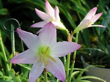 Rain Lily, Habranthus Pleased As Punch, 1 bulb, New, Rare, zephyranthes