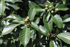 Quercus vibrayana ( 5 graines)