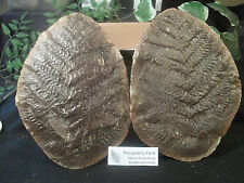 Mazon Creek Fossil MONSTER Pecopteris Fern Private Collection 6lbs Awesome