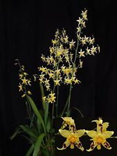 "Oncidium Serendipity 'Yellow Mellow' Am/Aos, Orchid Plant Shipped In 3"" Pot"