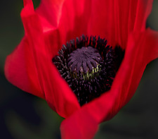 Poppy Flanders Field Red Remembrance Day 100 seeds flower seeds Papaver