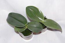 Phalaenopsis gigantea Pflanze Orchidee Orchid