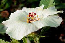 Seeds Lonely Love Hibiscus Trifoliate Flower Annual Garden Cut Organic Ukraine