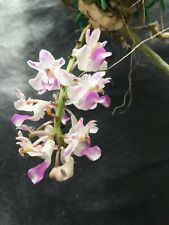 Rhynchostylis Retusa Fragrant Vandaceous Orchid Blooming Size Plant 2