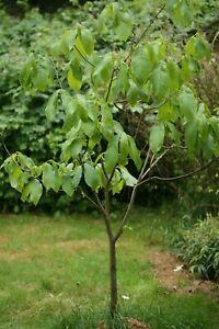 Indianerbanane, PawPaw, Asimina triloba, Obstbaum