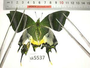 SK5537 # Unmounted Butterfly Teinopalpus imperialis North Vietnam