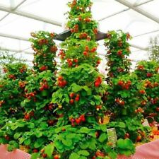 300 pcs/bag climbing strawberry seeds tree organic fruit seed sweet gaint potted