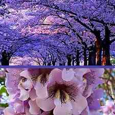 """100 PACK"" Royal Paulownia Tomentosa Seeds **FASTEST GROWING TREE in the WORLD**"