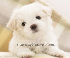 Maltese Puppy ~ Dogs ~ Counted Cross Stitch Pattern