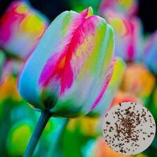 100Pcs Tulip Seeds Garden Balcony Outdoor Bonsai Perfume Flower Perennial Plant