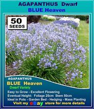AGAPANTHUS SEEDS  Dwarf Blue Heaven - 50x SEEDS Pk