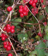 Black Bryony (Tamus communis) 50 Fresh Seeds