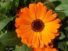 60 graines de SOUCI ORANGE VIF(Calendula Officinalis)Y258 Orange King Marigold