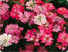 RARE FAIRYLAND CANDYTUFT! PERENNIAL! 25 SEEDS! Combined S/H! SEE OUR STORE!