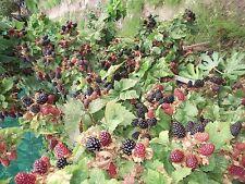 100 ORGANICALLY GROWN THORNLESS  BLACKBERRY SEEDS