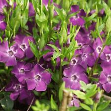 500 Semi-Fiore Selvatico Insalata Burnet-Sanguisorba Minore