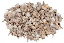 NaDeco® Murex trapa ca. 3-7cm 1kg | Meeresschnecke | Deko Muscheln | echte Deko
