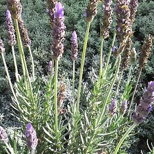 Lavandula dentata 70 Fresh Seeds Toothed Lavender French lavender Herb Bee Plant