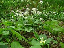 Flor Silvestre - bosque Flor Mix - Shady Zonas - 20g Semillas NO HIERBA