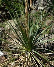 Dasylirion durangense - Desert Spoon- 10 Seeds