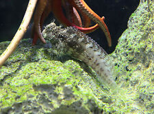 "Live Peaceful Saltwater Fish - 2""-3"" Algae Blenny - Marine Reef Cleaner"